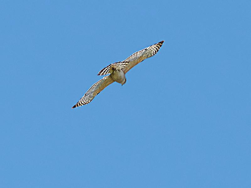 Shoulderd-Hawk