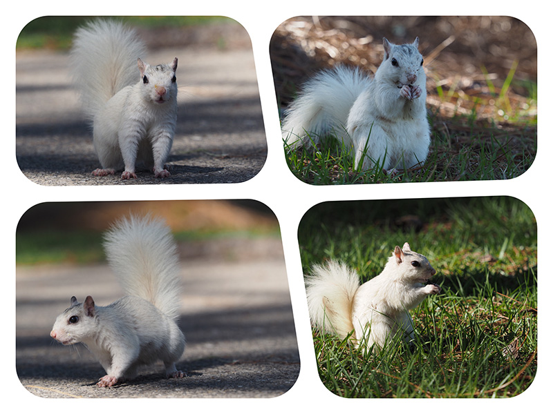 White Squirrel squirrelS